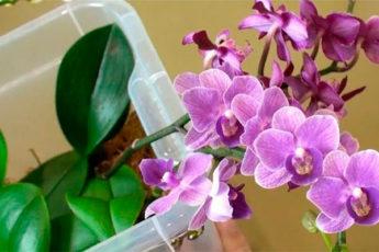 Необычный способ полива домашней орхидеи